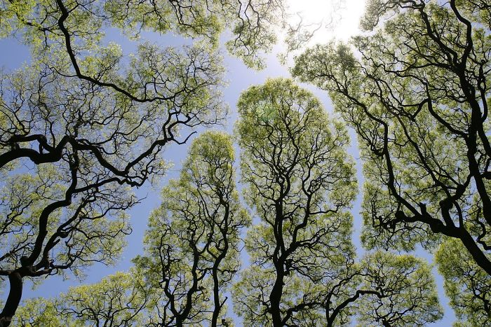 crown shyness trees avoid touching 1 599295941f475 700