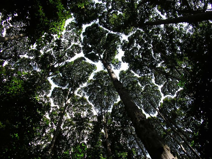 crown shyness trees avoid touching 599296d6d46c7 700
