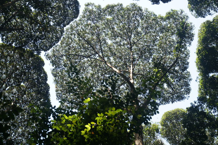 crown shyness trees avoid touching 599296f87e272 700