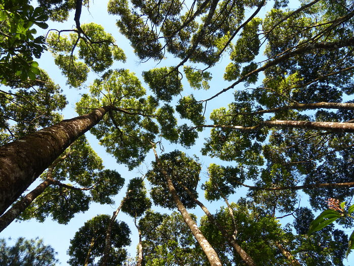 crown shyness trees avoid touching 599297ae886b1 700