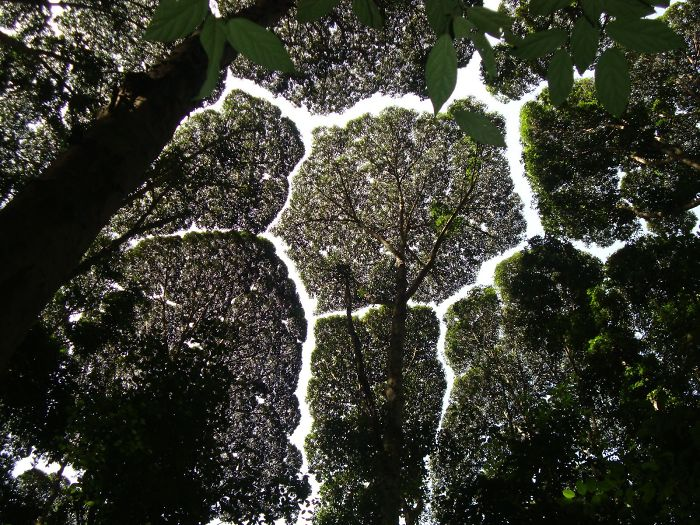 crown shyness trees avoid touching 5992983fcc682 700