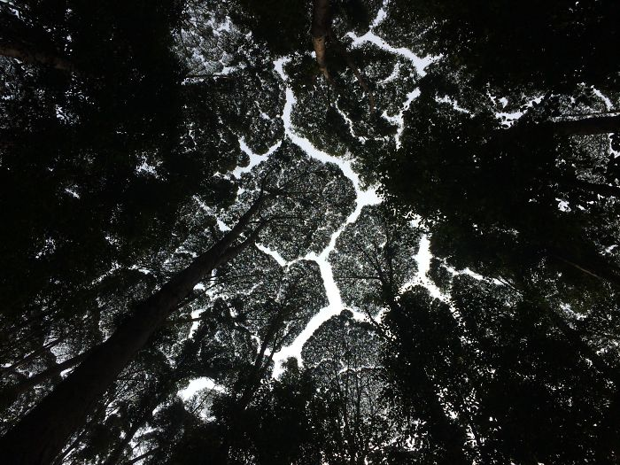 crown shyness trees avoid touching 5992997054905 700