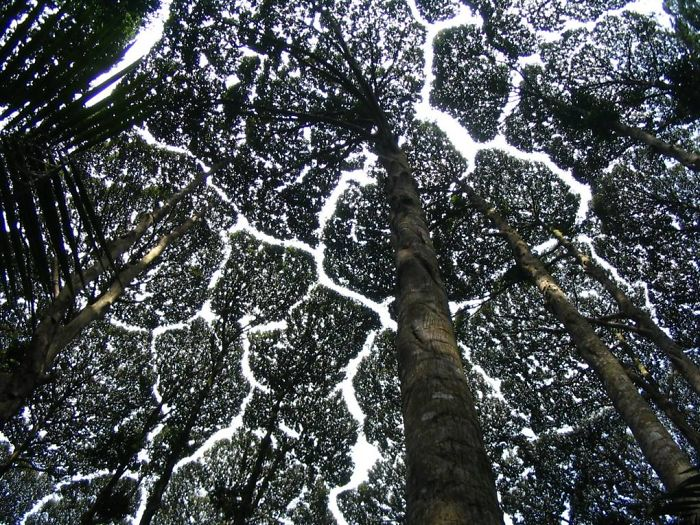 crown shyness trees avoid touching 59929ad041876 700