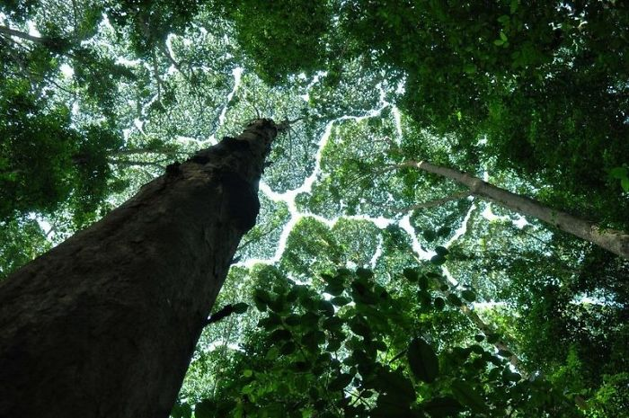 crown shyness trees avoid touching 59929be24790e 700
